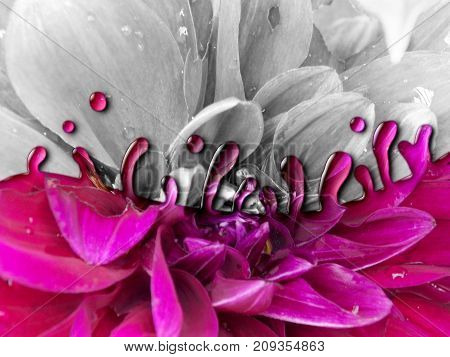 Photo manipulation of flower in gray scale decorated with pink color drops