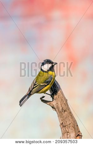 Single Female Great-tit Songbird Perched On Dry Worn Twig