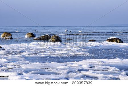 Mute swans between ice floes in the winter in the Finnish Gulf the Baltic Sea poster