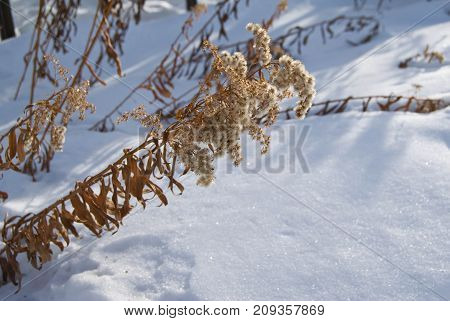 Frozen branches of milfoil (yarrow) under snow - garden at a winter day