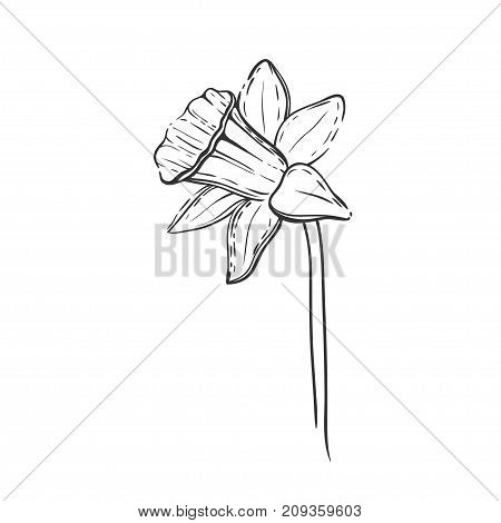 Daffodil isolated on white. Vector floral illustration with hand drawn black and white daffodil.
