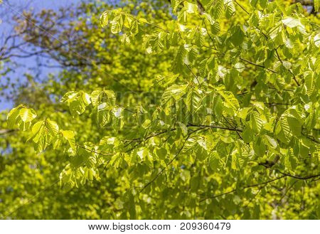 fresh green leaves and sunlight at spring time