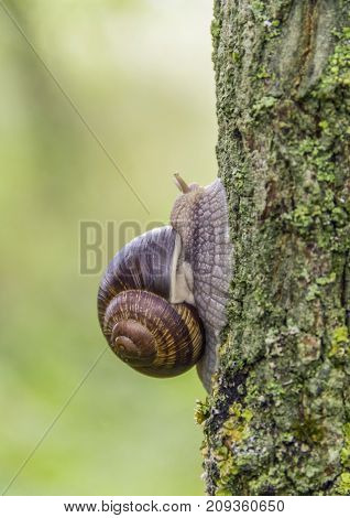 closeup shot of a roman snail in natural ambiance