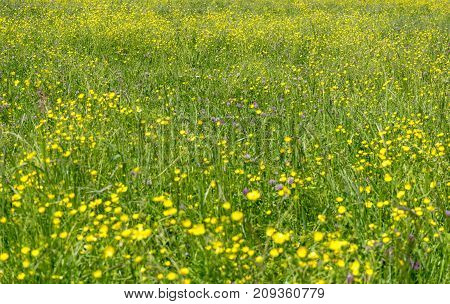 closeup shot of a meadow with lots of mostly yellow wildflowers