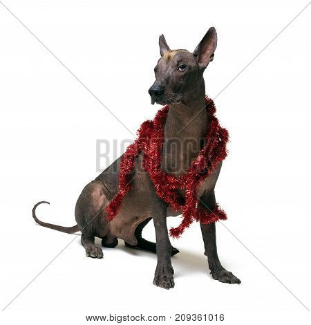 Festive dog Xoloitzcuintli in party red Christmas tinsel isolated on white background