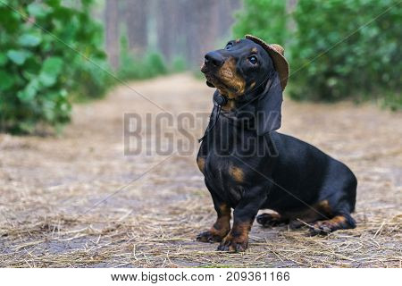 cute portrait of a dog (puppy) breed dachshund black tan in the cap of a cowboy in the green forest