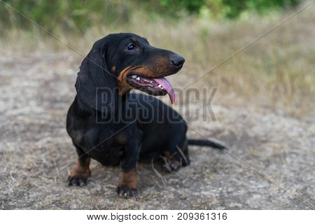 cute portrait of a dog (puppy) breed dachshund black tan with tongue in the autumn park
