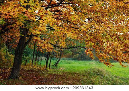 Fall background yellowing foliage of autumn trees in the woods
