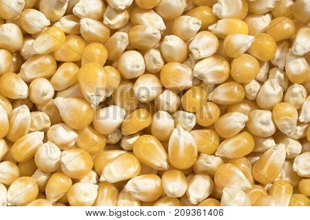 Closeup View And Pattern Of Some Grains Of Maize