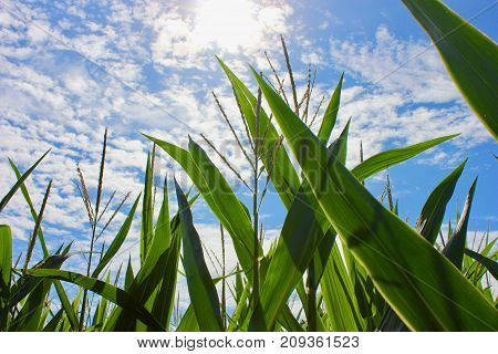 Looking up on tall corn growing under a blue sky