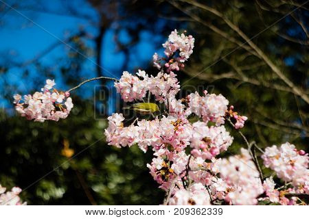 A Mejiro Perched in a Blooming Plum Tree at the Start of Spring