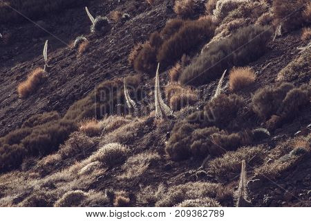 Dried Plants On The Slopes Of The Teide, The Canary Islands