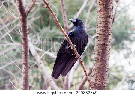 A black crow perched in a tree