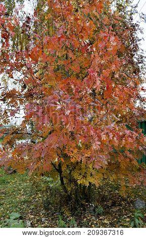Red Yellow Bush Autumn Rowan