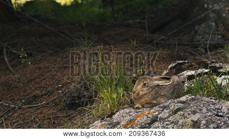 The Hare On The Stone Is Frightened