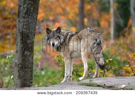 Timber wolf (Canis lupus) on top of a rock looks back on an autumn day