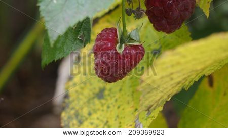 A raspberry hanging on a branch. Harvest. Closeup.