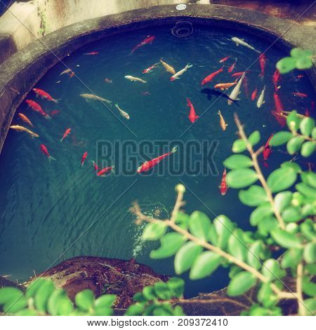 Hong Kong - October 2017: Koi fish in the pond with green branch in foreground.