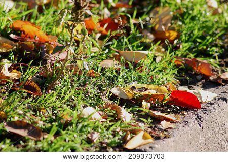 Autumn Background. Red And Yellow Cherry-tree Leaves On The Grass Close-up. Low Point Of Shooting.