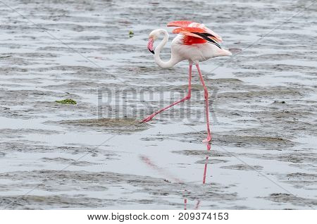 A Greater Flamingo Phoenicopterus ruber roseus walking in the lagoon at Walvis Bay in the Namib Desert on the Atlantic Coast of Namibia