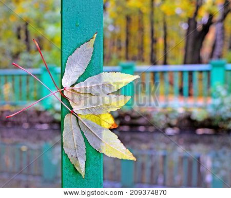 Autumn park. Wooden embankment along the small river. Wind and rain have broken yellow trifoliate leaves of maple and have beaten them to a green handrail. Background. Landscape.