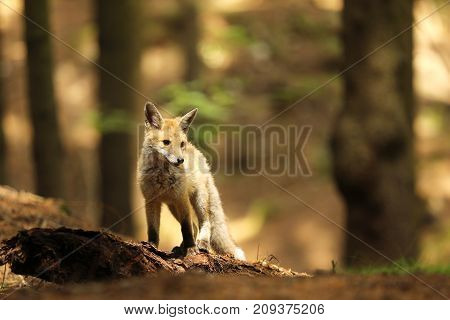 Young red fox vixen staying on log in forest - Vulpes vulpes