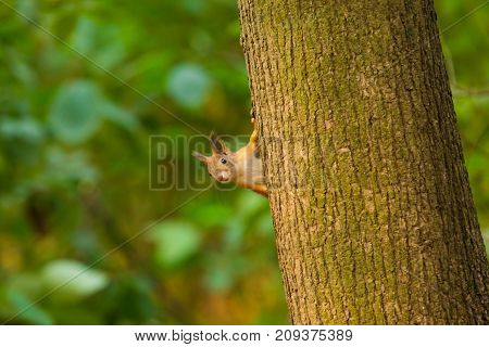 Curious red squirrel peeking behind the tree trunk in autumn