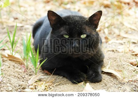 Big black cat resting on the ground.