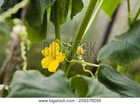 Yellow Cucumber Flower In A Greenhouse