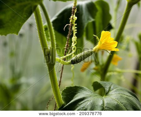Small Cucumber With Yellow Flower In The Greenhouse