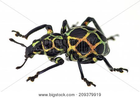 exotic weevil Pachyrhynchus reticulatus isolated on white