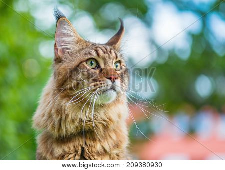 Close up portrait of black tabby Maine Coon cat on green background. Adorable young cute male cat looking away. Pets walking outdoor adventure.