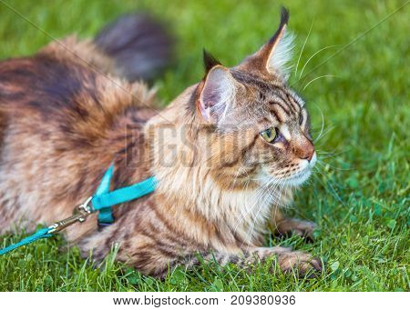 Black tabby Maine Coon cat with leash relaxing on green grass in park. Pets walking outdoor adventure.