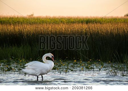 Swan In The Water On The River