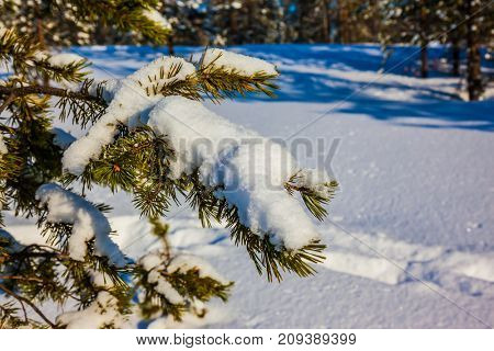 Snowy winter in the Arctic. Lapland. On a pine branch there is a big snowdrift. The concept of active and extreme tourism