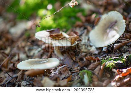 Russule. Russula mushrooms in autumn forest.