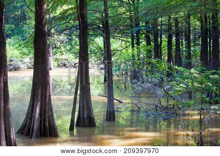 Bald Cypress trees in Fourmile Slough at Camden Wildlife Management Area in Tennessee