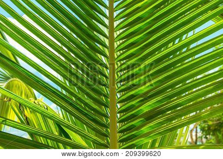 tropical Palm leaf close up in thailand