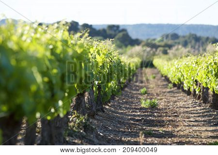 Vineyard in the south of France near the canal du midi