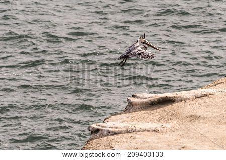 Brown pelican landing on a rock in the Pacific Ocean in La Jolla, California