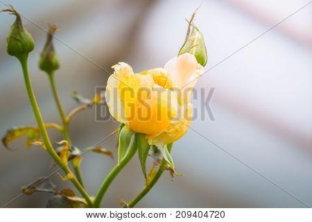 Roses In The Garden