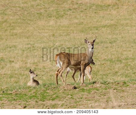 Whitetail buck in a feild with other deer