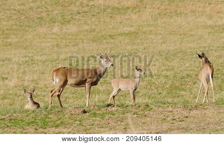 Two bucks and two fawns on a farm field