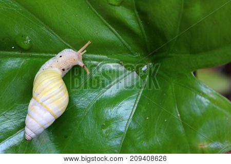 The Yellow Snail with eggs on the green leaves in the garden