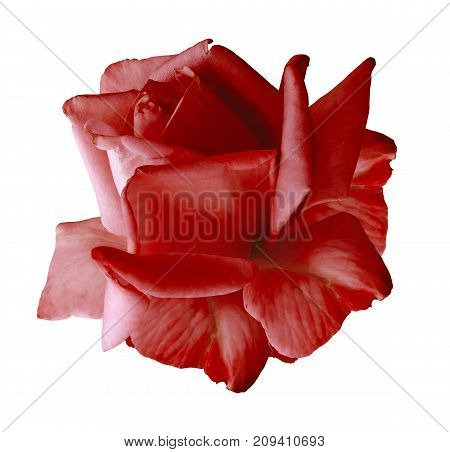 Rose red flower on white isolated background with clipping path. no shadows. Closeup. Nature.