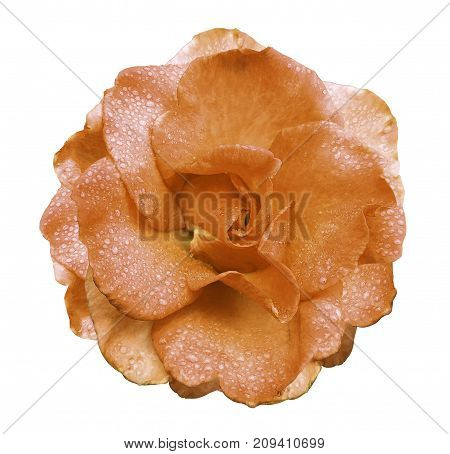 Orange rose flower on a white isolated background with clipping path no shadows. Rose with drops of water on the petals. Closeup. Nature.