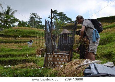 The Rice Field In Bali (around Ubud And Jatiluwih), Indonesia