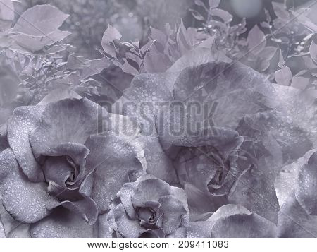 Floral light violet background from roses. Flower composition. Flowers with water droplets on petals. Close-up. Nature.