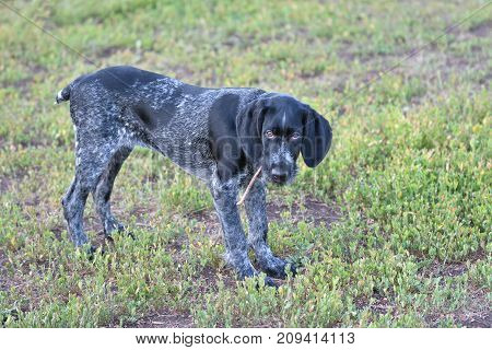 2018 Year-year Of The Dog. Hunting Dog Breed German Wirehaired Pointer