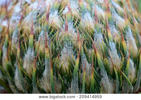 Close-up flowers of the Cycas palm tree in the garden